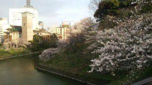 武道館近くの桜